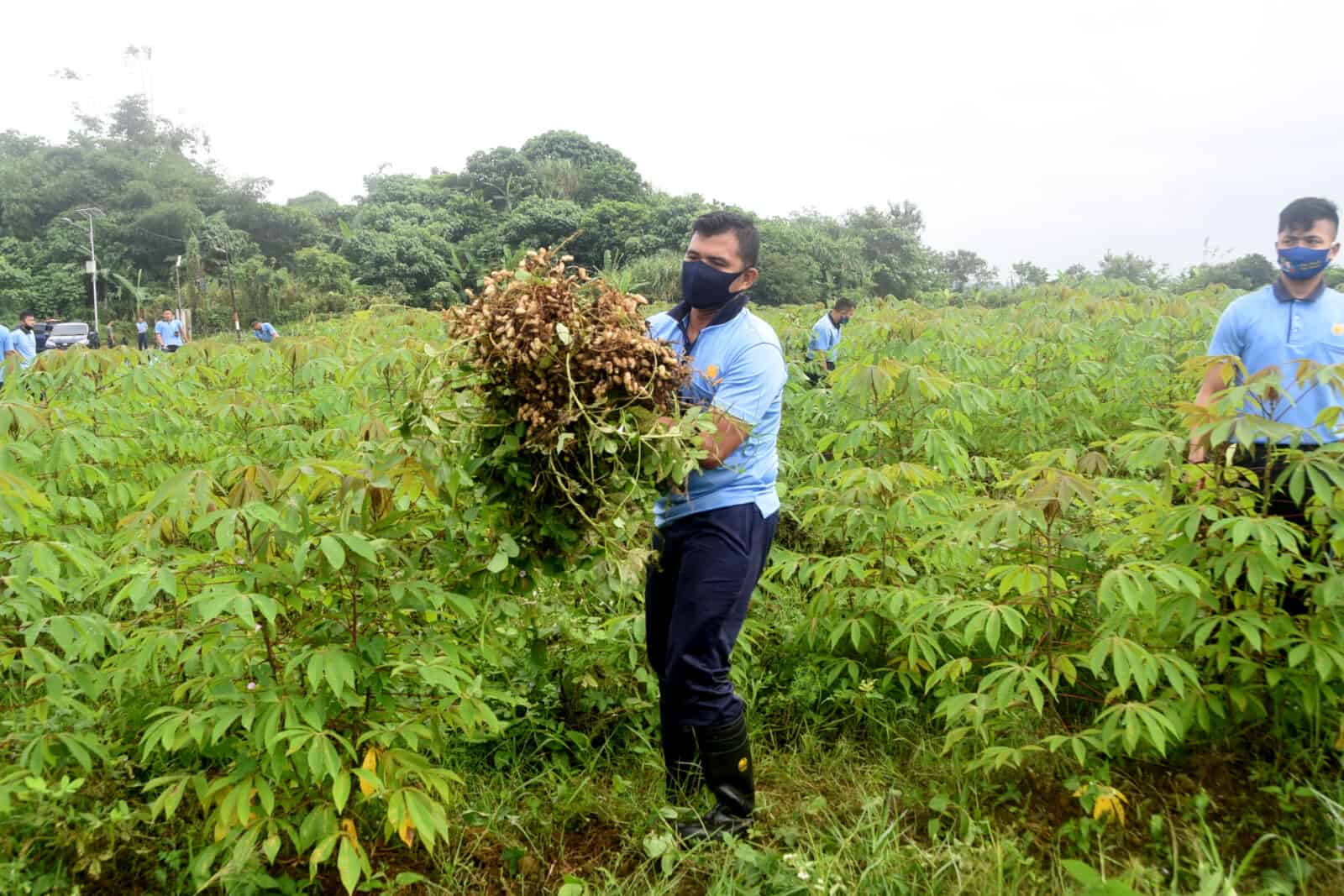 Panen Kacang Tanah Hasil ketahanan Pangan Lanud Wiriadinata