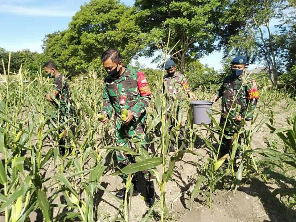 Sukseskan Ketahanan Pangan, Pangkalan TNI Angkatan Udara Maimun Saleh Gelar Panen Jagung Manis.